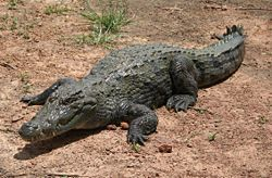 What's the Scientific for a Nile Crocodile?
