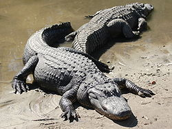 What  is the average weight of an Adult American Alligator?