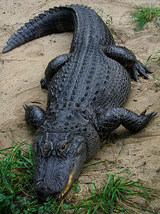 True or False: There is such thing as a Chinese Alligator.