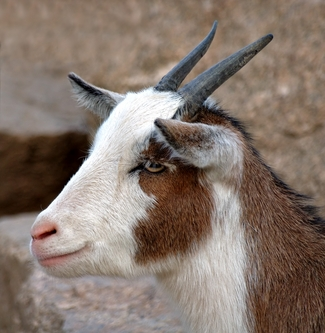 What's the German word for goat?