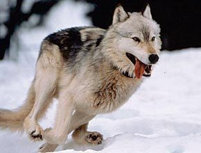 How fast have wolves been clocked running?