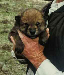 Usually,How many wolf pups are there in a litter?