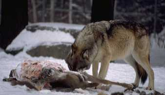 How much can a wolf eat in one meal?