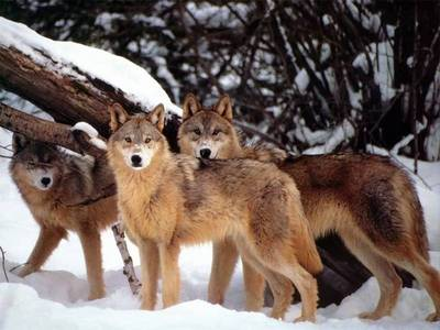 How do wolfs communicate?