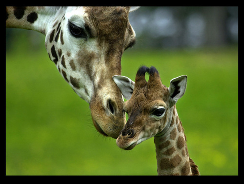 True or Fasle: A giraffe gives birth by standing.