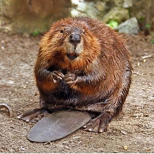 Do beavers hibernate?