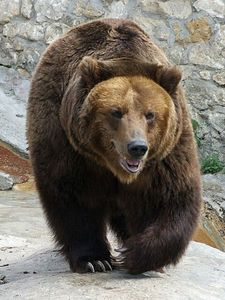 How many different sub-species of the brown bear are there?