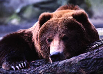 What other name is the grizzly bear known as?