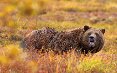 Grizzly bears can run up to how many miles per hour?