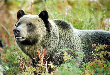 Which of these are not generally regarded as pests rather than competition to the grizzly bears?