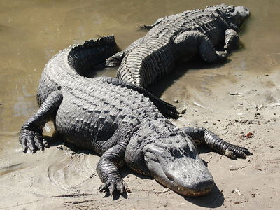 There have been 23 reported deaths 由 an alligator since 1973, how many of those were not in Florida (this is within the US)?