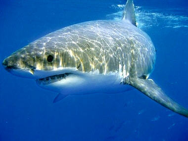 Out of the 10 deaths from sharks in the US since 2000, how many were from the Great White shark?