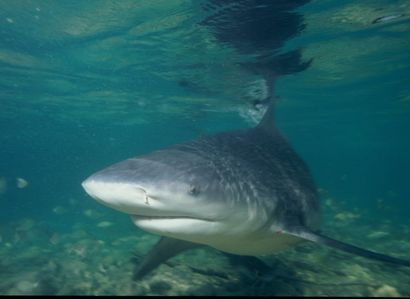 How many years does it take for a bullshark pup to reach maturity?