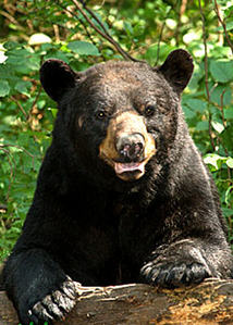 What part of a Black bear is bigger than a brown bear?
