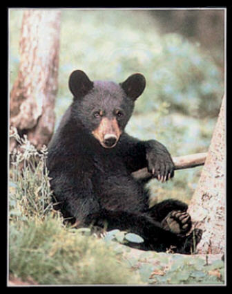 When do black bear cubs become independant of their mother?