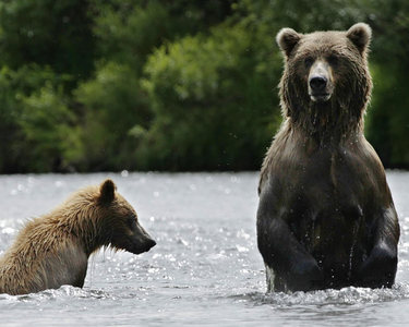 Unlike wolves & coyotes, black bears rarely do what with their kills (only the meat kills, that is)?