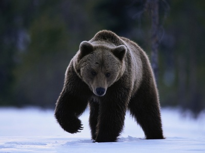 True or False:Black bears are usually timid & flee rather than fight with their enemies?