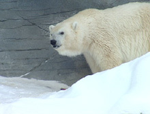 In what province in Canada did the polar bear family (Debby, Skipper & cubs) live in?