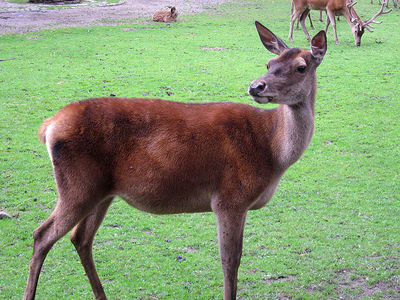 This deer, pictured below, is one of the largest deer species, what is it called?