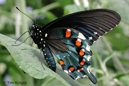 How many life cycles does a butterfly have?