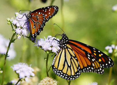 A Monarch butterfly has been known to travel great distances, usually from Mexico to North America, around how many miles have they been known to travel?