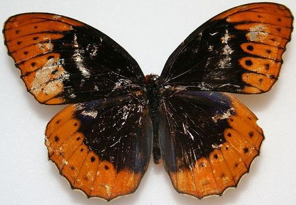 Which state has this beautiful butterfly, Diana Fritillary, as thier state butterfly?