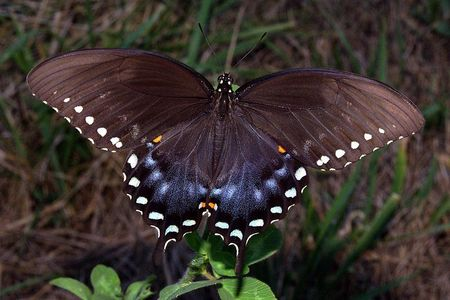 Which state has this beautiful butterfly, the Spicebush Swallowtail as their state butterfly?