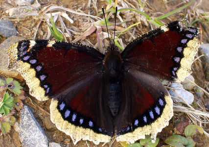 Which state has this beautiful butterfly, the Mourning Cloak butterfly as their state insect?
