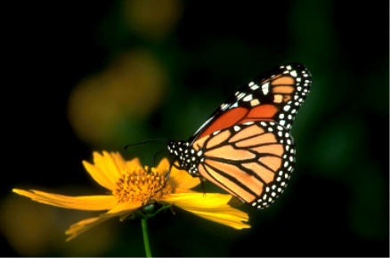 What is the Monarch farfalla called in Australia?