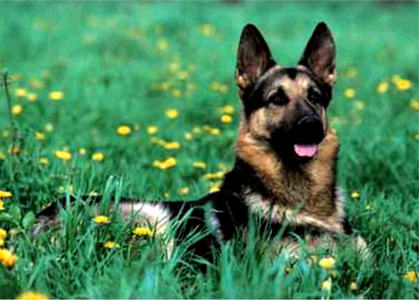 True oder False:The normal lifespan of a German Shephard is 7-10 years.