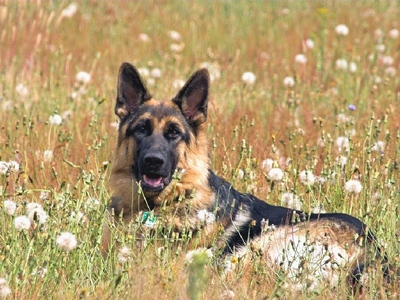 German Shephards are listed as the third smartest dog, which breed is listed as being the smartest?