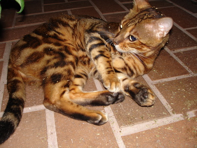 Bengals are cross-bred from which species of wildcat?