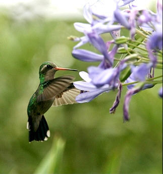 Hummingbirds have the highest rate of metabolism of all animals except what animal?
