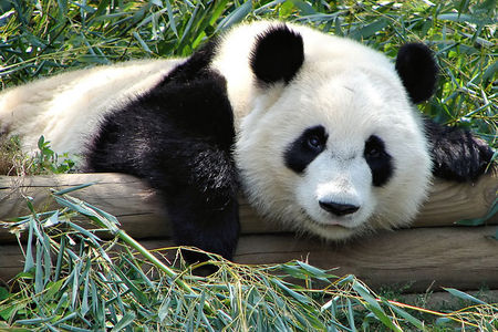 How many zoos in the US have pandas?