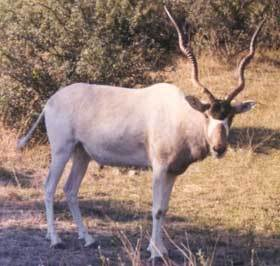 True or False: An Addax can live a long period of time without water.