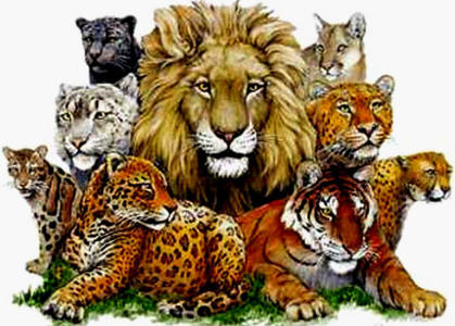 The tallest of all felines at the shoulder is which one of the ones below?