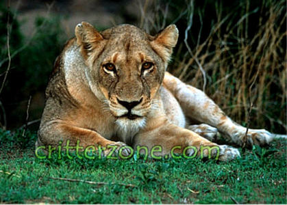 How many pounds of meat does a lioness eat per day?