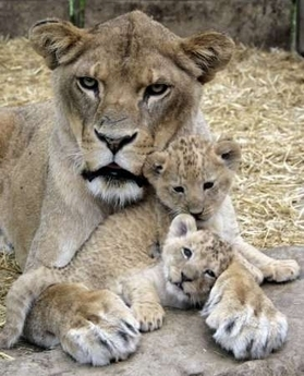 About how long do the lioness & her cubs stay away after she gives birth?