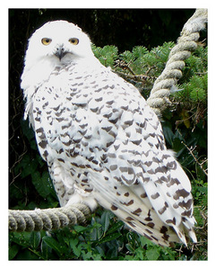 Was Hedwig the only owl in the series, or were there other owls?