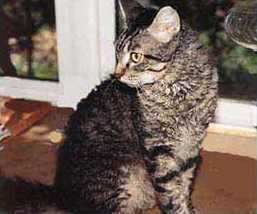 This type of cat is known for its wavy or curly hair.