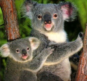 What's Randy's (Barney's rebound bro) favourite thing about koala bears?