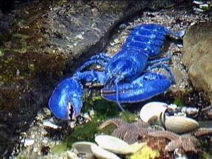 1 in every 4,000 lobsters is BRIGHT BLUE!