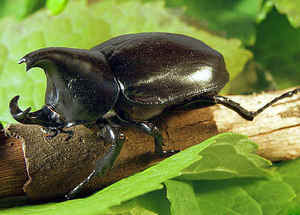 The strongest animal in the world is the rhinoceros beetle!