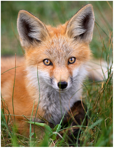 Foxes are mostly found in open places with 草