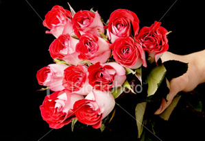 Bellas hoa hồng