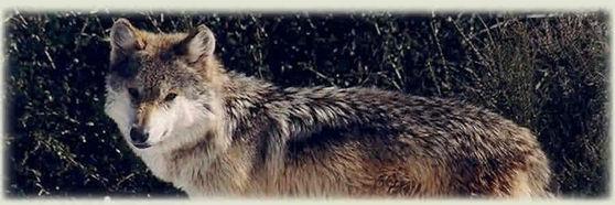 Grey भेड़िया
