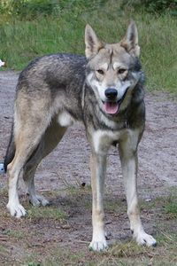 A Saarlooswolfhond