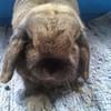 My baby bun, Flopsy (Mr F) Myf_1992 photo