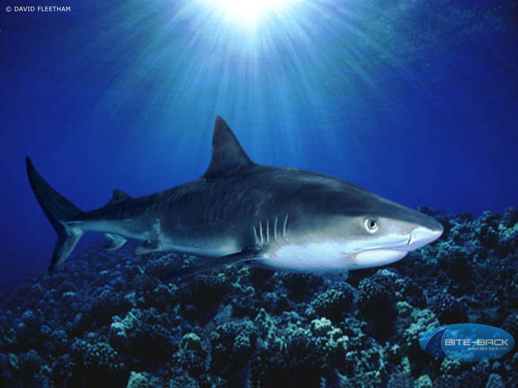 鮫 サメ Sharks 壁紙 10310444 ファンポップ