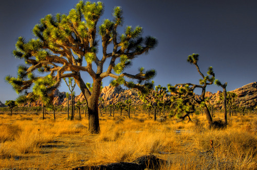 joshua tree nationalpark